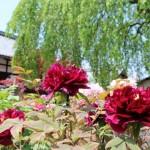 京都の5月は【花を堪能しよう!】おすすめ観光スポット~5選~
